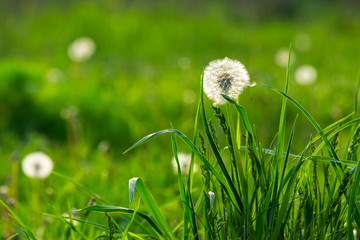 white dandelion on green grass blurry background