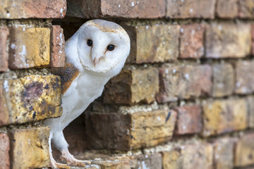 Wall Mural - Barn Owl Looking Out of a Hole in a Wall