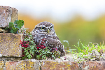 Wall Mural - Little Owl Sitting On a Wall