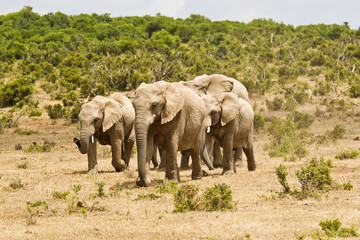 African elephant family running on dry ground towards a waterhole
