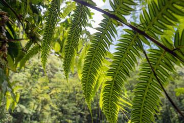 Blätter vom Baumfarn