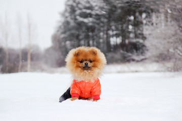 Pomeranian dog in snow. Winter dog. Dog in snow. Spitz in winter forest.