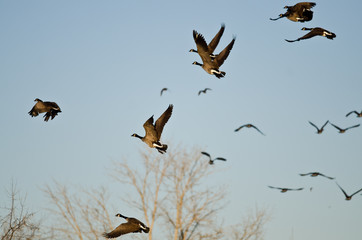 Flock of Canada Geese Taking to Flight in a Busy Sky