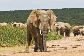 Lonely African elephant at a waterhole