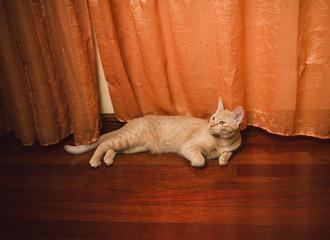Orange tabby cat lying