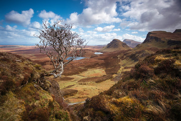 Wall Mural - Lonely tree on a beautiful spring day at the famous Quiraing with blue sky and clouds - Isle of Skye, Scotland, UK