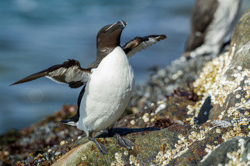 Razorbill, Alca torda, sitting on the rock