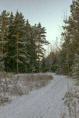 Keuken foto achterwand Bos in mist Snowy pines illuminated by sunlight in winter