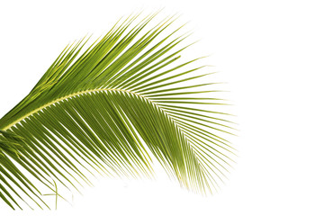 Coconut leaf on white background