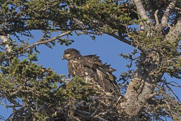 Juvenile Bald Eagle in its Nest