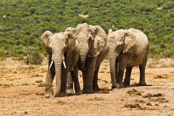 Three African elephants in the hot midday sun