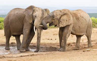 Two elephants showing some affection while at a water hole