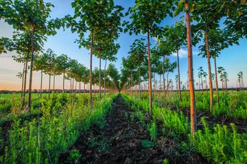 Pretty woodland, paulownia tree plantation at sunset Wall mural