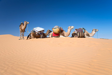 Photo sur Plexiglas Tunisie Camels in the Sand dunes desert of Sahara, South Tunisia