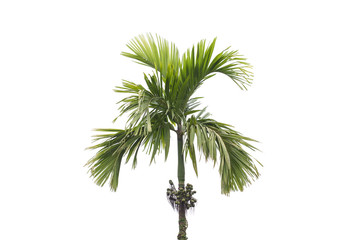 betel palm tree isolated on white background