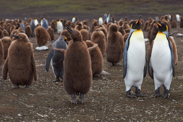 Adult King Penguins (Aptenodytes patagonicus) with nearly fully grown chicks at Volunteer Point in the Falkland Islands.