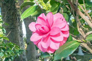 Camellia cv
