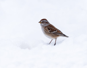 American Tree Sparrow Perched on Snow in Winter