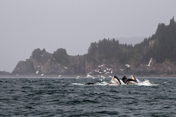 Humpback Whales Bubble Feeding in Alaska Kenai Fjords National P