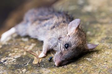dead rat on the ground
