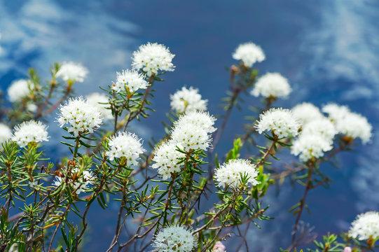 Flowering ledum on the lake over water