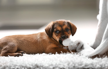 Cute puppy lying on carpet at home