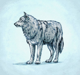 color engrave ink draw wolf illustration