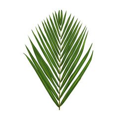 Vector green palm leafe isolated on white background.