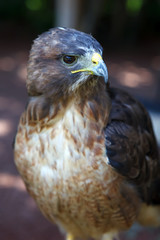 Fototapete - Red-tailed Hawk
