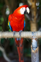 Wall Mural - Scarlet Macaw
