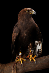 Wall Mural - Lesser Spotted Eagle