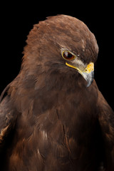Fototapete - Lesser Spotted Eagle