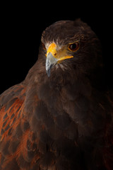 Wall Mural - Harris's Hawk