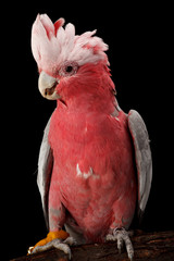 Rose-breasted Cockatoo, Galah.