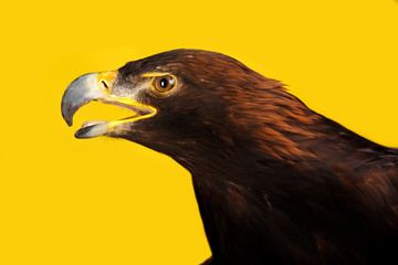 Wall Mural - Golden Eagle