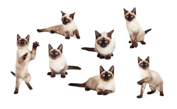 Cute Siamese Kitten In Different Positions