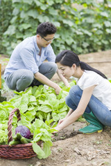 Young couple picking vegetables