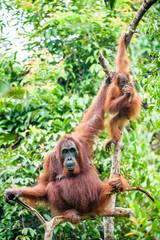 A female of the orangutan with a cub in a native habitat. Bornean orangutan (Pongo pygmaeus)