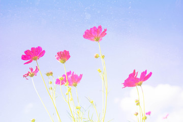 Purple, pink, red, cosmos flowers in the garden with sky clouds