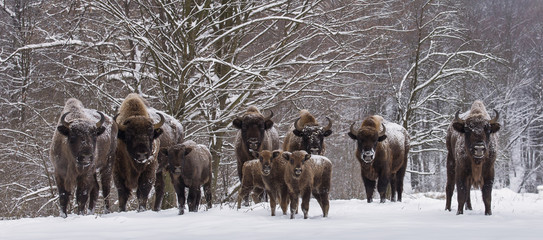 Fototapeta Bison family in winter day in the snow.