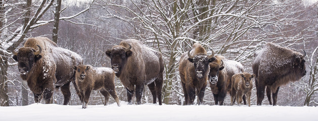 Tuinposter Bison Bisons family in winter day in the snow.