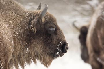 Fototapeta Bison winter day in the snow
