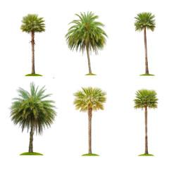 Six betel palm tree isolated on white