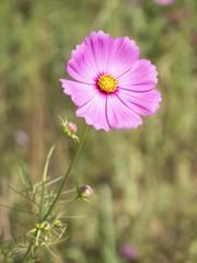 Cosmos Flowers 6