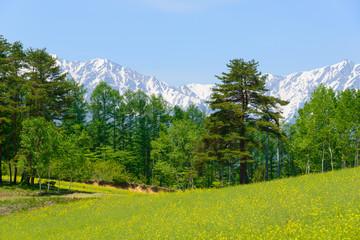 Northern Alps and Field mustard at Nakayama highlands in Omachi, Nagano, Japan