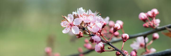 Mandelblüten, Prunus dulcis