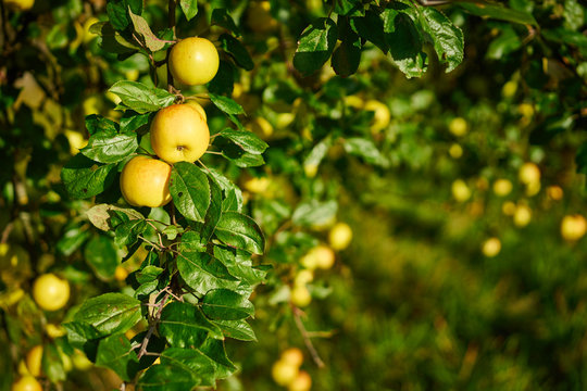 Apple tree with wonderful big yellow apples on meadow under blue sky / Apple tree close before harvest on field in germany