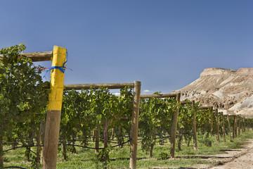Vineyard at winery in Western Colorado