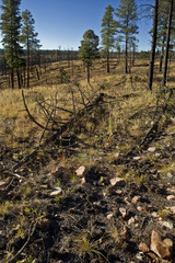 Forest scarred from fire in Arizona