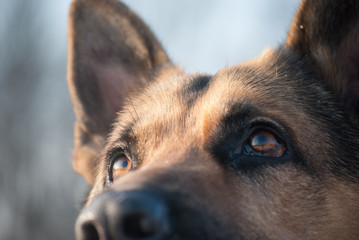 german shepherd stares